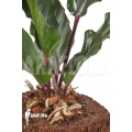 Anthurium sp Purple Stem