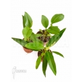 Anthurium terrarium package