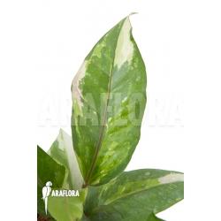 Anthurium variegated