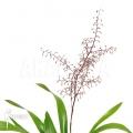 Bromeliad 'Araeococcus micranthus'