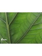 Album Araflora; Art by Nature