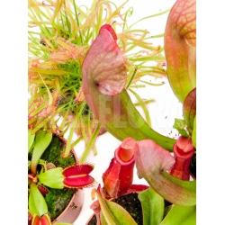 Araflora Carnivorous plant Starter package