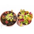 Araflora carnivorous plant 'Venusflytrap starter package'