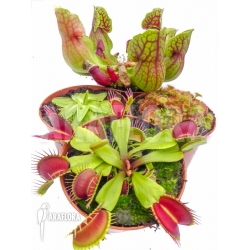 Araflora Carnivorous plant winter package