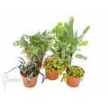 Araflora fern easy starter package