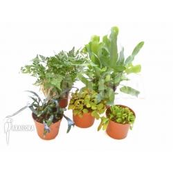 Araflora Fern Easy Starter package 5