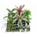 Araflora terrarium bromeliad assortedpackage