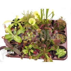 Araflora carnivorous plants XL package