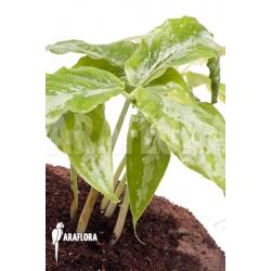 Arisaema filiforme 'Borneo'