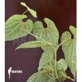 Aristolochia ceylon