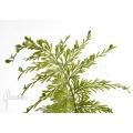 Mauritius spleenwort 'Asplenium daucifolium'