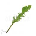Fimbriated fern 'Asplenium nidus'