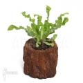 Crispy wave fern 'Asplenium nidus'