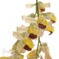 Orchid 'Baptistonia echinata'