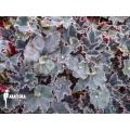 Begonia 'Black velvet'