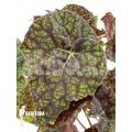 Begonia 'Green Fever'