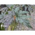Begonia acontifolia