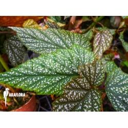 Begonia argenteo guttata