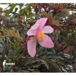 Begonia bipinnatifida flower