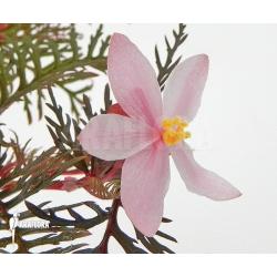 Begonia bipinnatifida adult