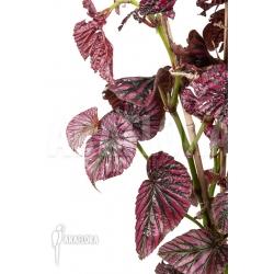"Begonia brevirimosa subsp exotica ""L"""
