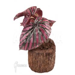 "Begonia brevirimosa subsp exotica ""S"""