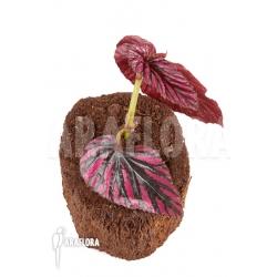 """Begonia brevirimosa subsp exotica """"Starter"""""""