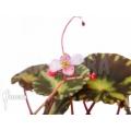 Begonia cleopatrae