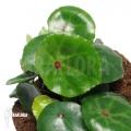 Begonia conchifolia var. Rubrimacula