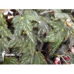 Begonia deliciosa