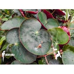 Begonia epipsila