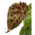 Begonia ferox 'starter'
