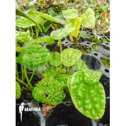 Begonia ficifolia