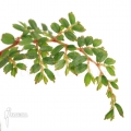 Begonia foliosa var. Miniata 'Starter plug'