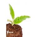 """Begonia furfuracea """"Starter"""""""