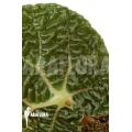 Begonia gehrtii