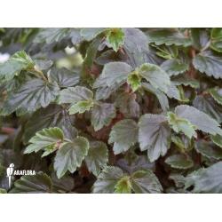 Begonia glabra