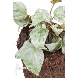 Begonia hatacoa 'silver'
