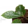 Begonia herbacea