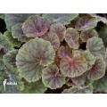 Begonia hoehneana