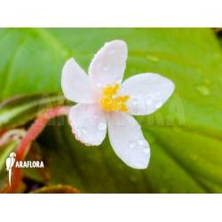Begonia listida flower