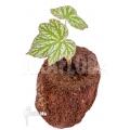 """Begonia malipoensis """"Starter"""""""