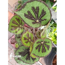 Begonia massoniana 'Iron Cross'