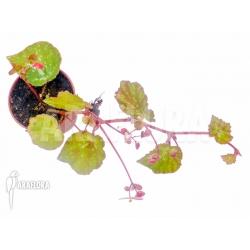 Begonia nigritarum