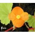 Begonia papaya