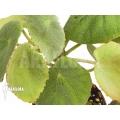 Begonia peltata