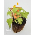 Begonia prismatocarpa 'Starter plug'