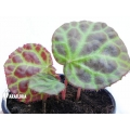 Begonia rajah 'Starter'