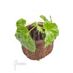 Begonia salaziensis 'Starter'