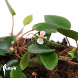 Begonia schulzei